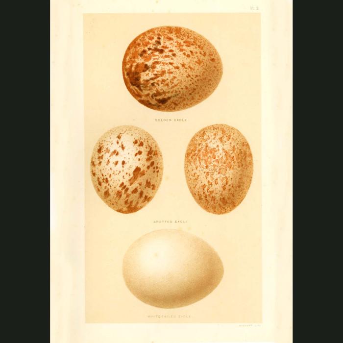 Fine art print for sale. Eagle Eggs
