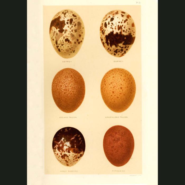 Fine art print for sale. Osprey, Falcon, Buzzard & Peregrine Eggs