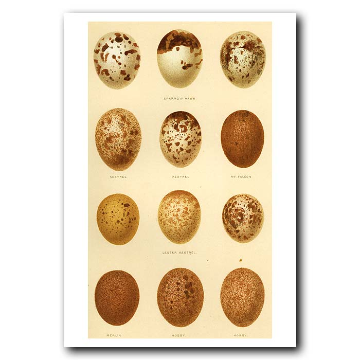Fine art print for sale. Sparrow Hawk, Kestrel, Merlin & Hobby Eggs