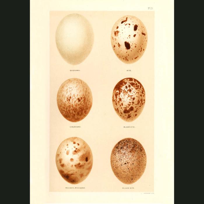 Fine art print for sale. Goshawk, Kite and Buzzard Eggs