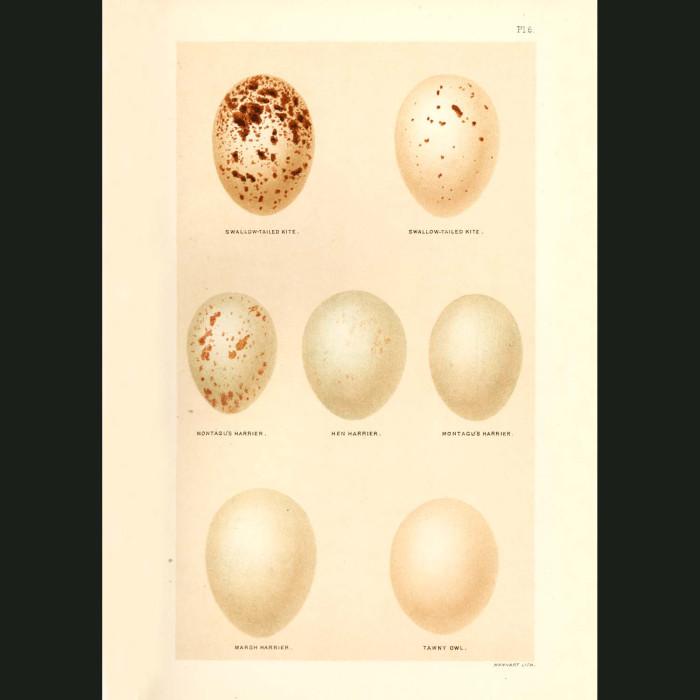 Fine art print for sale. Kite, Harrier & Tawny Owl Eggs