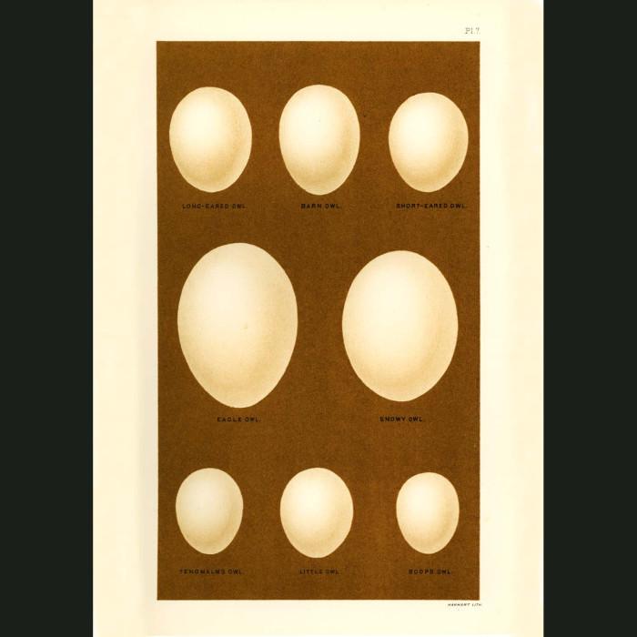 Fine art print for sale. Owl Eggs