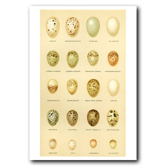 Fine art print for sale. Oriole, Starling and Other Eggs