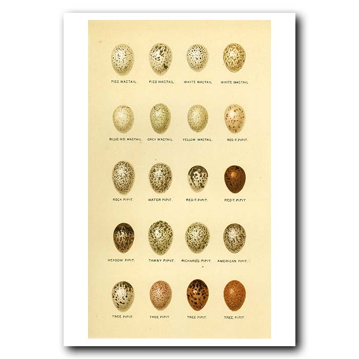 Fine art print for sale. Wagtail and Pipit Eggs