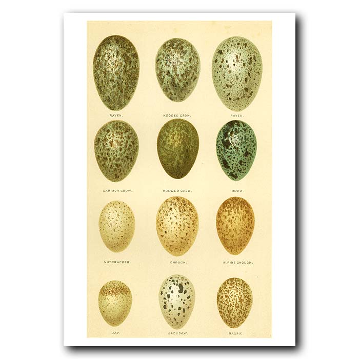 Fine art print for sale. Raven, Crow, Rook, Jay, Jackdaw & Magpie Eggs