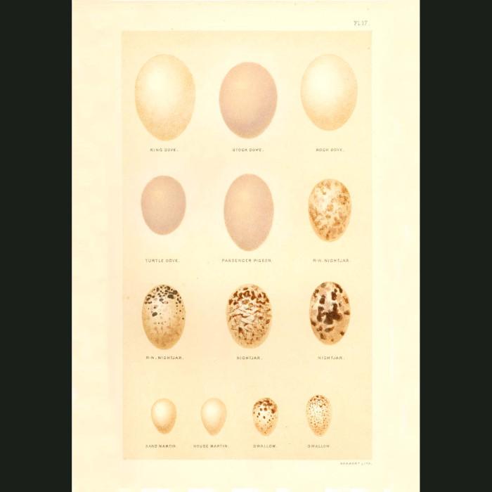 Fine art print for sale. Dove, Pigeon, Nightjar, Martin & Swallow Eggs