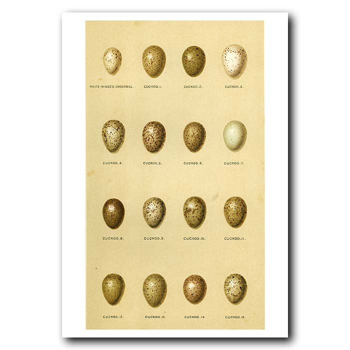 Fine art print for sale. Crossbill and Cuckoo Eggs