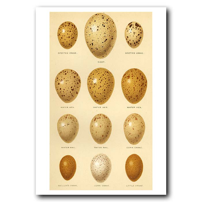 Fine art print for sale. Crake, Coot, Water Hen & Water Rail Eggs