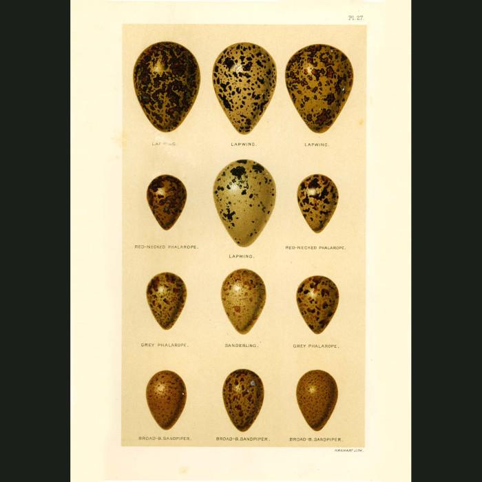 Fine art print for sale. Lapwing, Sanderling & Sandpiper Eggs
