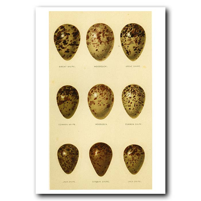 Fine art print for sale. Snipe and Woodcock Eggs