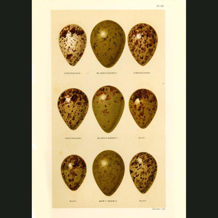 Fine art print for sale. Greenshank, Godwit and Ruff Eggs