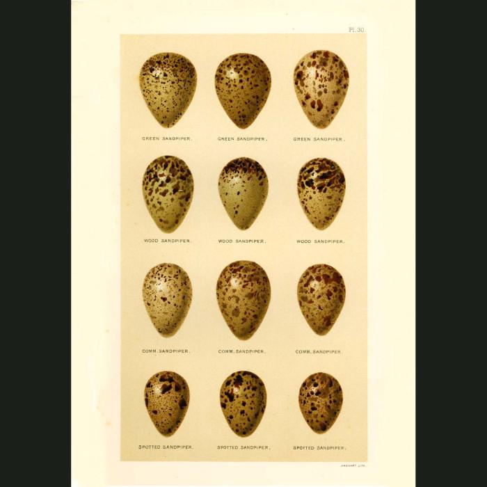 Fine art print for sale. Sandpiper Eggs