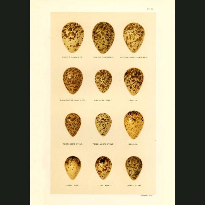 Fine art print for sale. Sandpiper, Stint and Dunlin Eggs