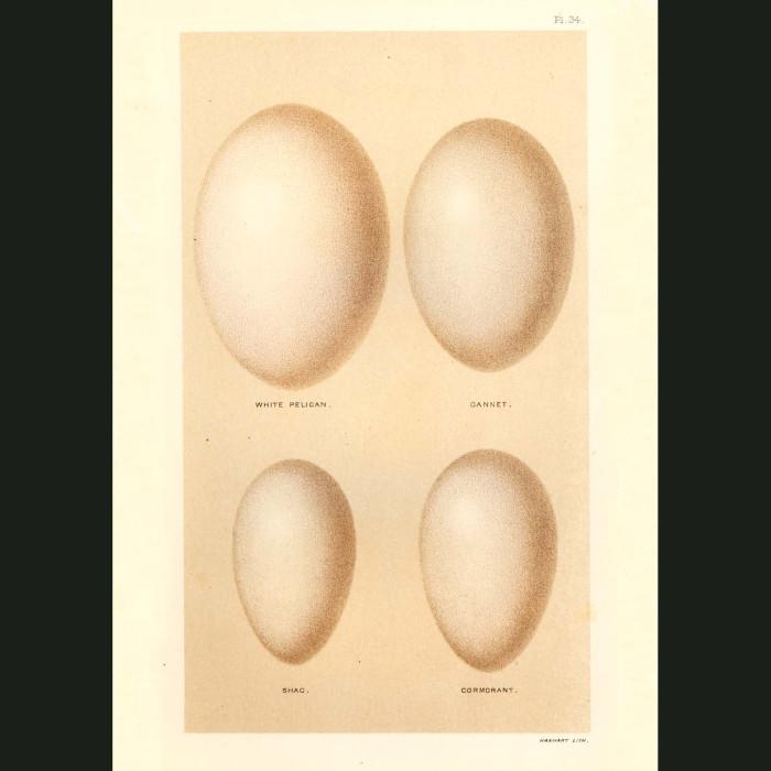 Fine art print for sale. White Pelican, Gannet, Shag and Cormorant Eggs