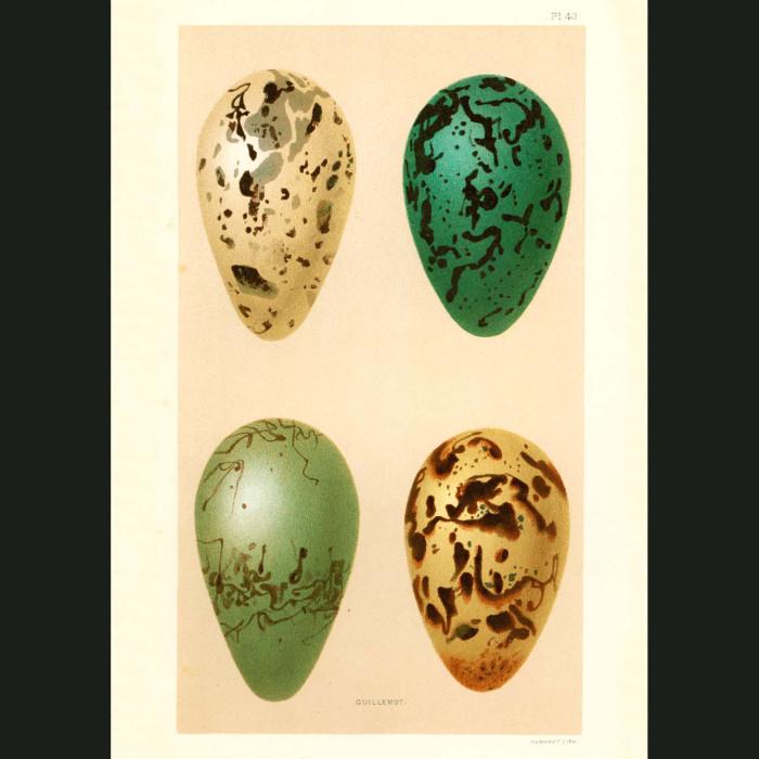 Fine art print for sale. Guillemot Eggs (I)