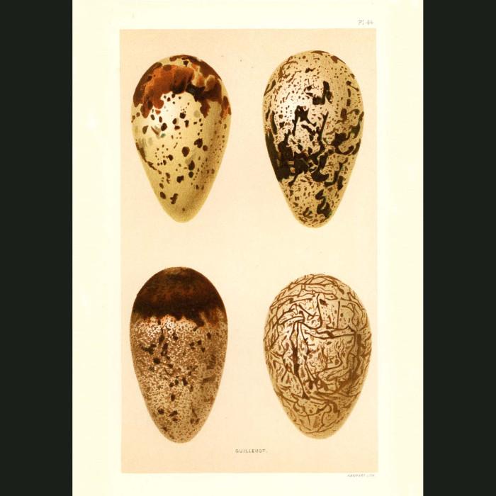 Fine art print for sale. Guillemot Eggs (II)