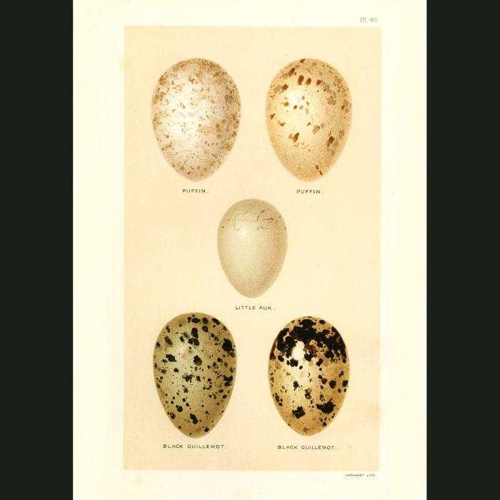 Fine art print for sale. Puffin, Little Auk and Black Guillemot Eggs