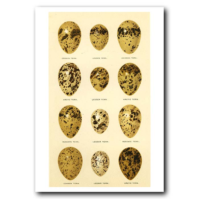 Fine art print for sale. Common, Lesser, Arctic and Roseate Tern eggs
