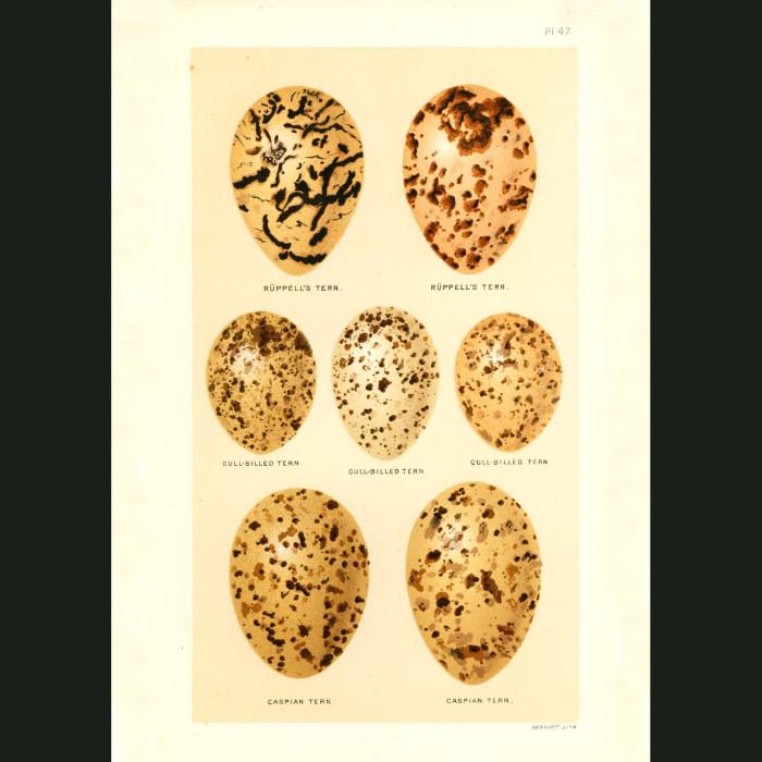 Fine art print for sale. Tern eggs (Ruppell's, Gull-billed and Caspian Terns)