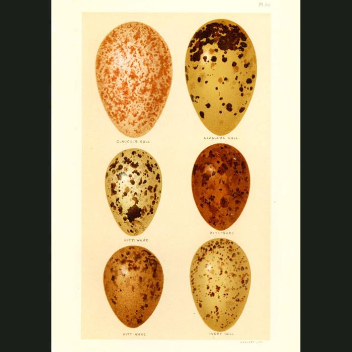 Fine art print for sale. Glaucous Gull, Ivory Gull and Kittiwake Eggs