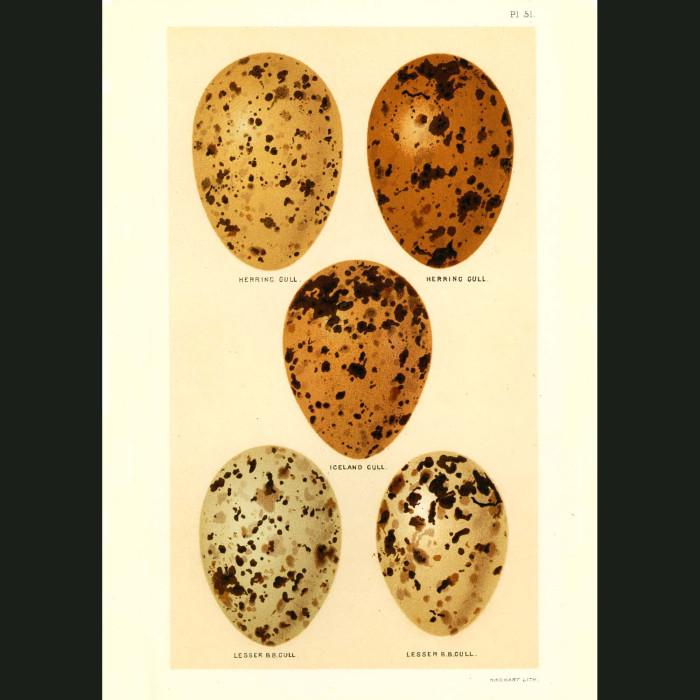 Fine art print for sale. Seagull Eggs