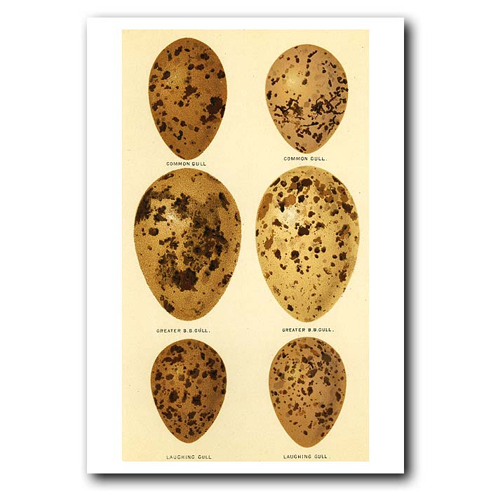 Fine art print for sale. Laughing Gull Eggs