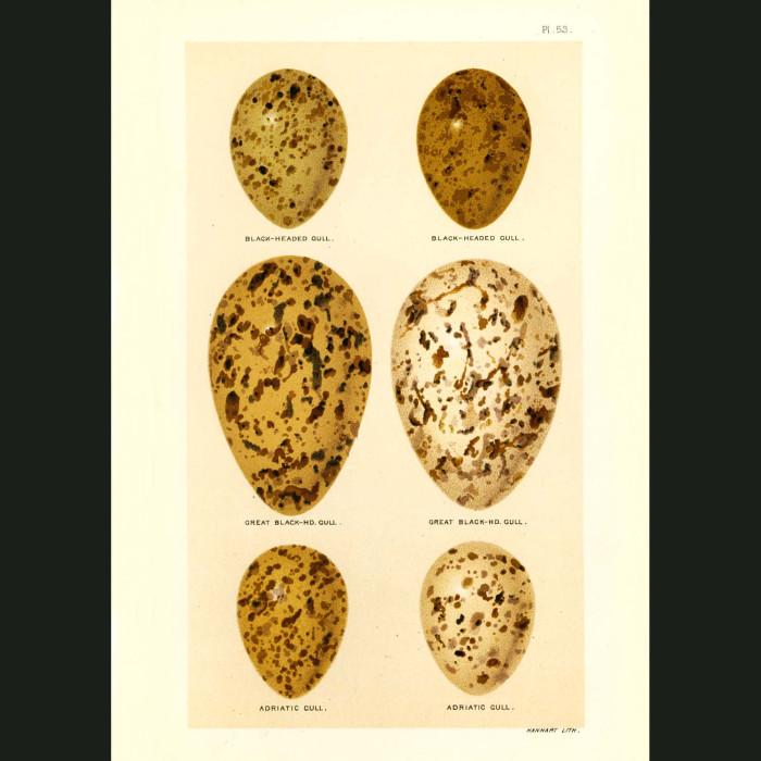 Fine art print for sale. Black-backed & Adriatic Gull eggs