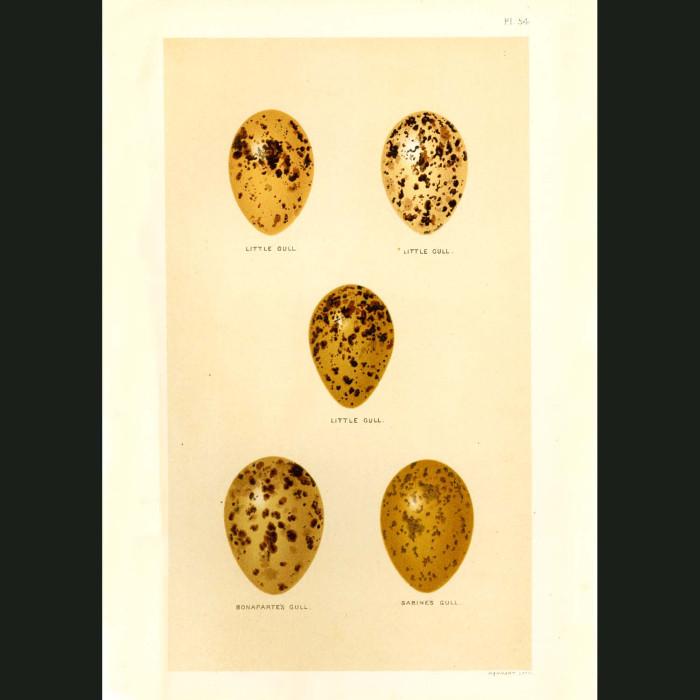 Fine art print for sale. Seagull Eggs (Little, Bonaparte's and Sabine's)