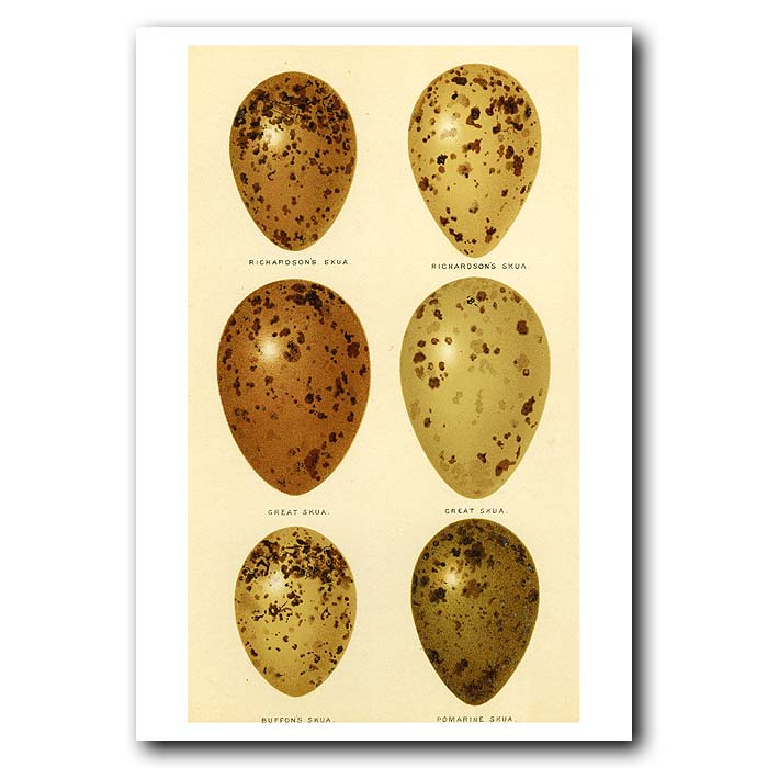 Fine art print for sale. Skua Eggs