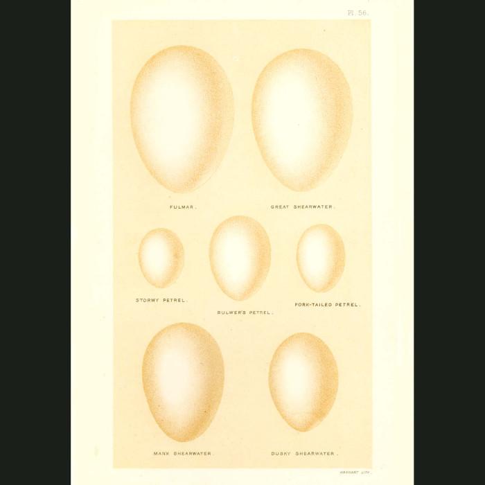 Fine art print for sale. Fulmar, Petrel, Manx & Dusky Shearwater Eggs