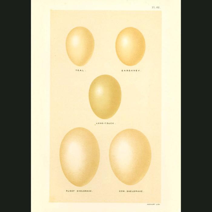 Fine art print for sale. Duck Eggs (Teal, Long-tailed, Ruddy & Sheldrake)