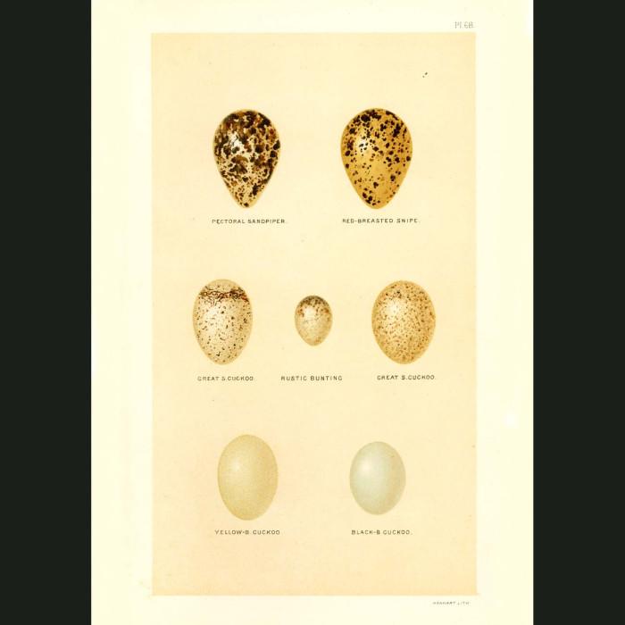 Fine art print for sale. Sandpiper,Snipe and Cuckoo Eggs