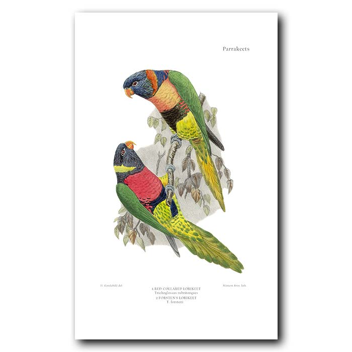 Fine art print for sale. Red Collared & Foster's Lorikeets. Trichoglossus rubritorques and forsteni