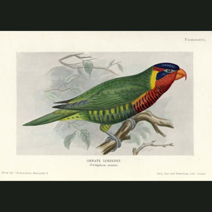 Fine art print for sale. Ornate Lorikeet. Trichoglossus ornatus