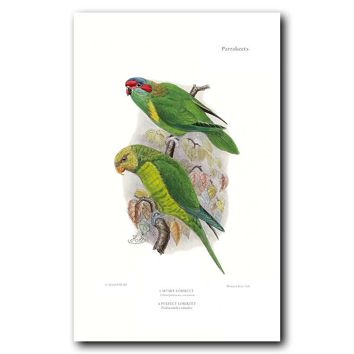Fine art print for sale. Perfect and Musky Lorikeets. Glossopsittacus concinnus and Psitteuteles euteles