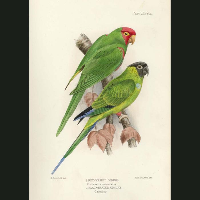 Fine art print for sale. Red Headed & Black Headed Conure Parrots. Conurus rubrolarvatus and nenday
