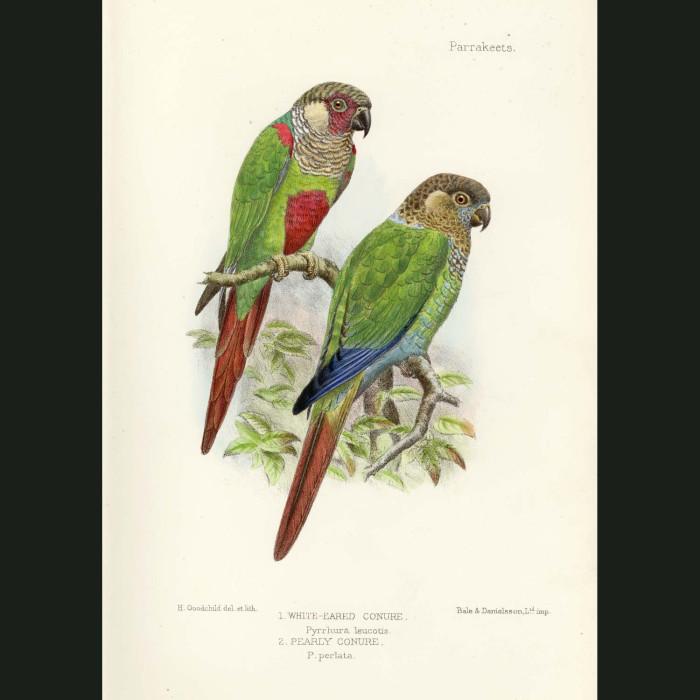 Fine art print for sale. White Eared & Pearly Conure Parrots. Pyrrhura leucotis and perlata