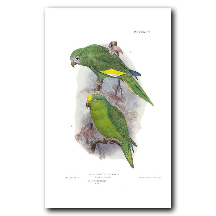 Fine art print for sale. White Winged & Tui Parakeets. Brotogerys virescens and tui
