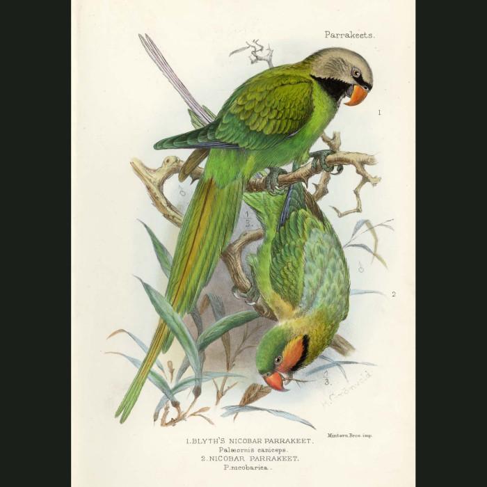 Fine art print for sale. Nicobar & Blythe's Nicobar Parakeets. Palaeornis caniceps and nicobarica