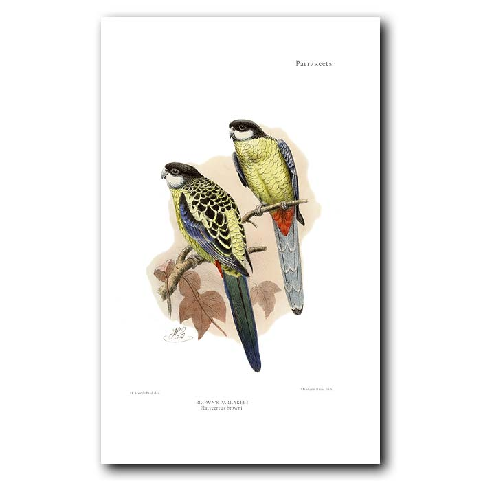 Fine art print for sale. Brown's Parakeet. Platycercus browni