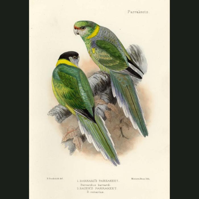 Fine art print for sale. Barnard's & Bauer's Parakeets. Barnardius barnardi and zonarius