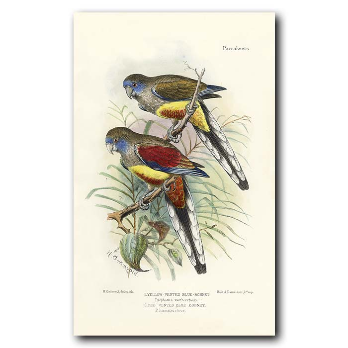 Fine art print for sale. Yellow & Red Vented Blue Bonnet Parrots. Psephotus xanthorrhous and haematorrhous