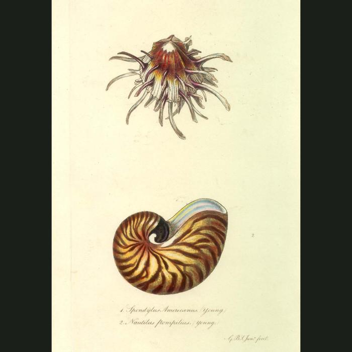 Fine art print for sale. Nautilus & Thorny-oyster Seashells