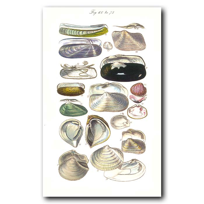 Fine art print for sale. Razor Clam Seashells