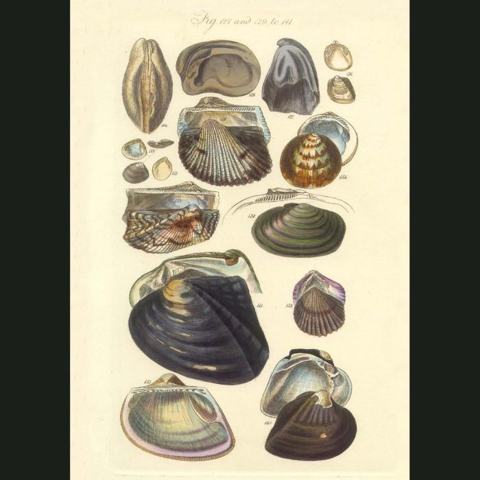 Fine art print for sale. Ark Seashells