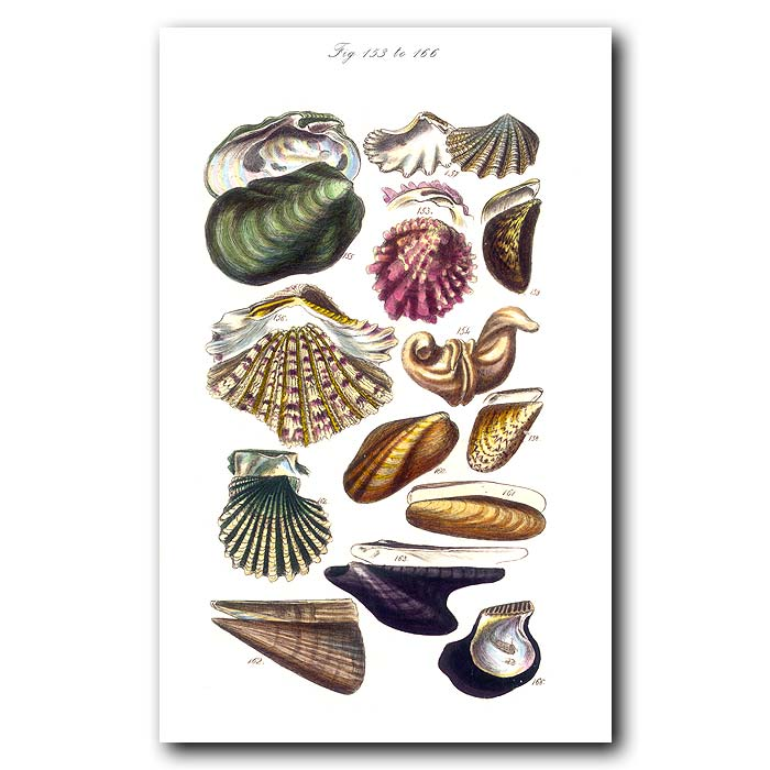 Fine art print for sale. Clam,Mussel & Scallop Seashells