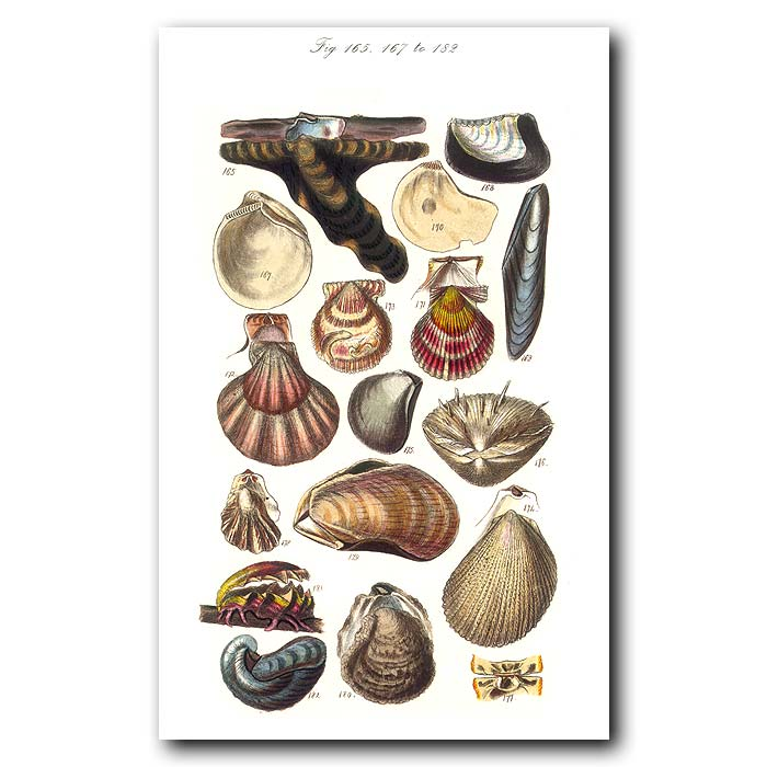 Fine art print for sale. Clam,Scallop & Oyster Seashells