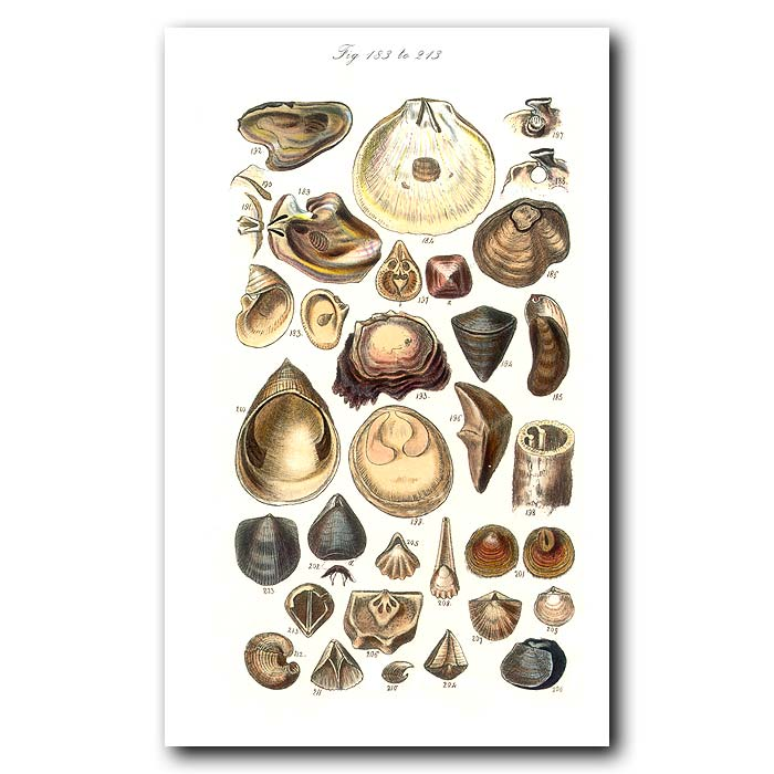 Fine art print for sale. Oyster and other Seashells