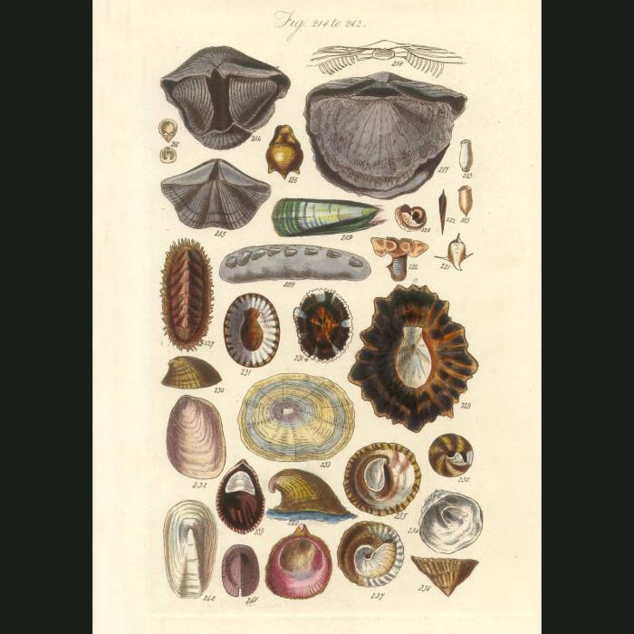 Fine art print for sale. Limpet Seashells