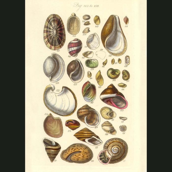 Fine art print for sale. Bubble & Sea Butterfly Seashells